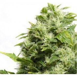 big-buddha-super-automatic-sativa-29-500x500