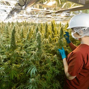 german-weed-law-growing