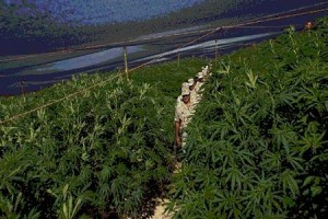 Mexico Biggest-ever Marijuana field !