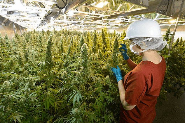 Germany to Launch Weed Growing Industry by 2019